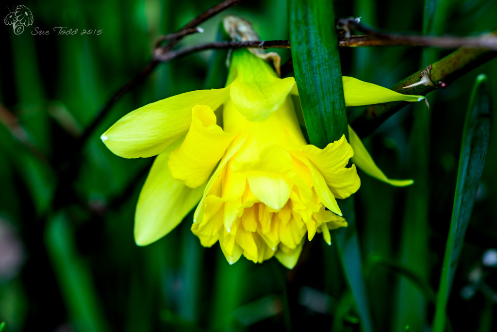 First daffodil to flower. © Sue Todd 2015