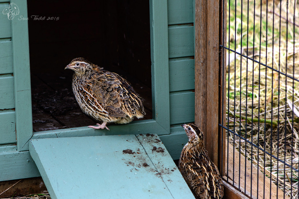 Our Quail arrived today.  © Sue Todd 2015