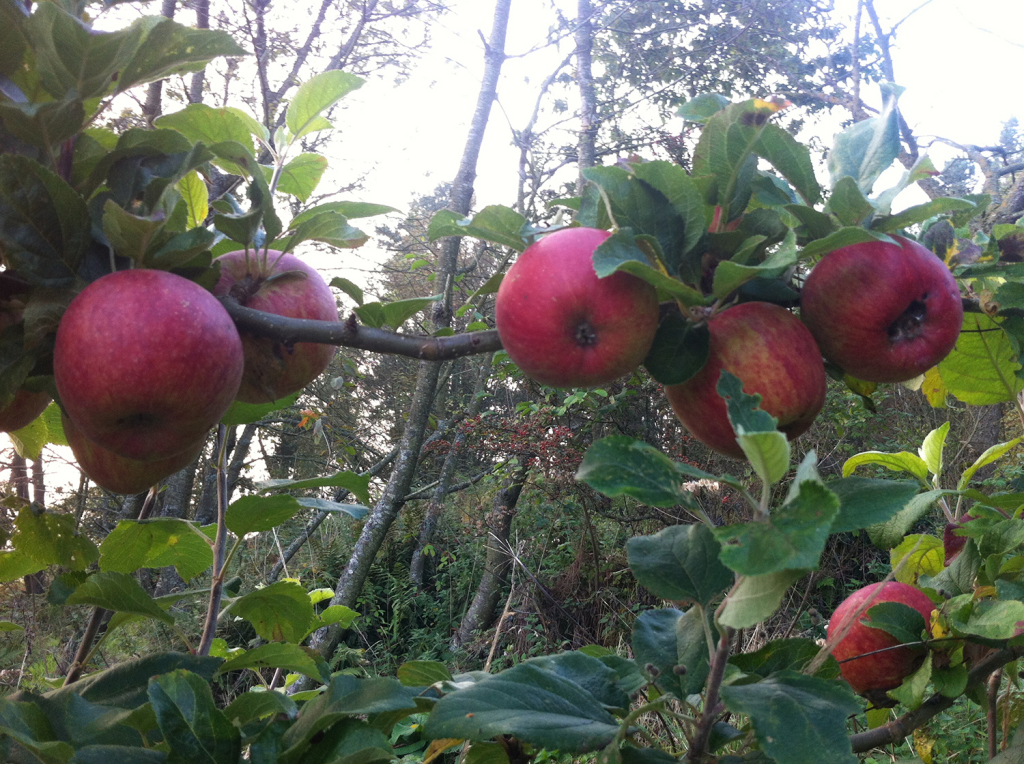 Apples from the Garden © Gary Todd 2014