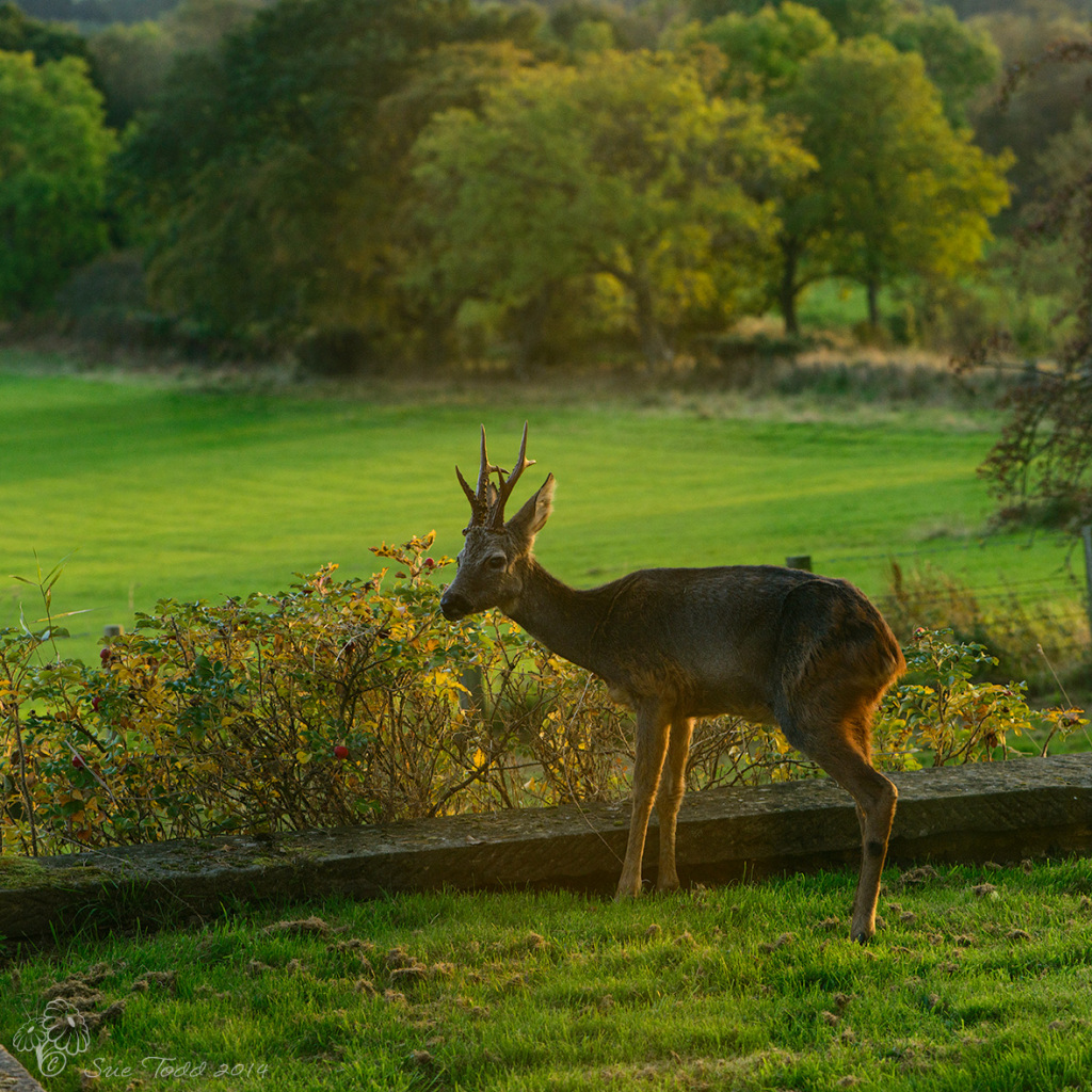 It's not every day a pair of antlers saunter past your window.  © Sue Todd 2014