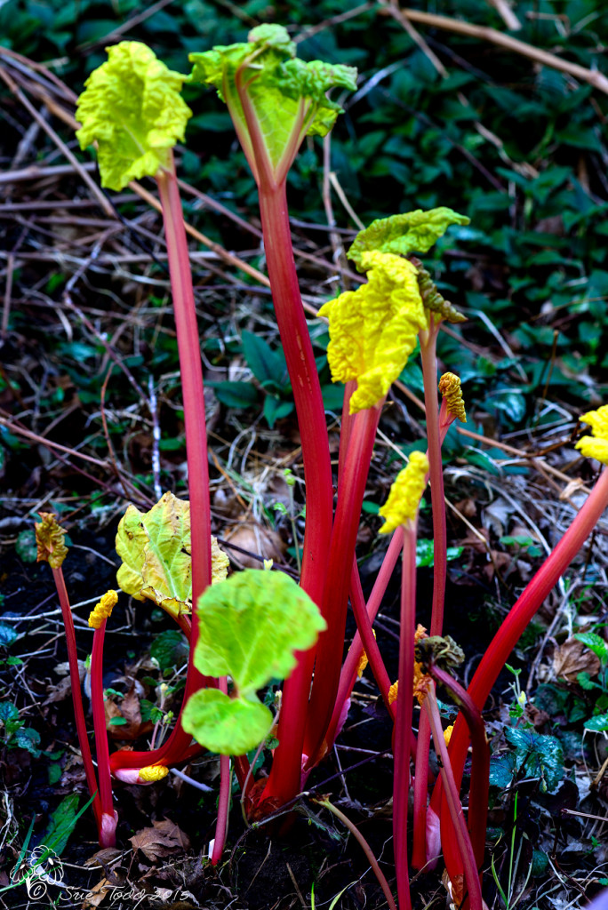 First Rhubarb of the year. © Sue Todd 2015