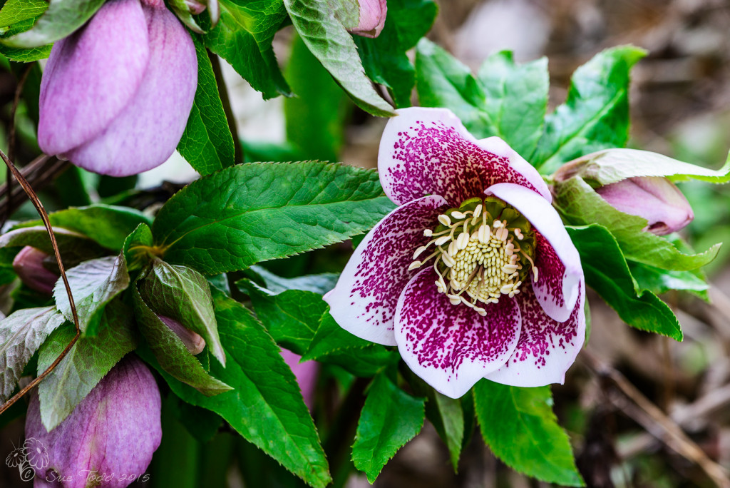 Hellebores by the back door © Sue Todd 2015.